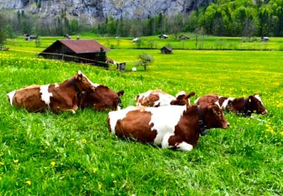 Happy cows in Lauterbrunnen
